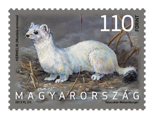 Magyarország állatvilága hermelin